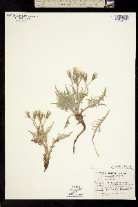 Crepis occidentalis image