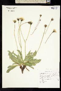 Psilochenia runcinata image