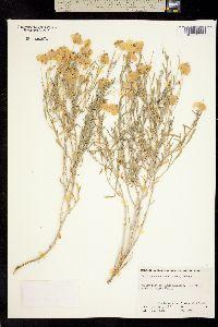 Image of Psilostrophe cooperi