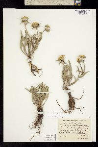 Pyrrocoma carthamoides image