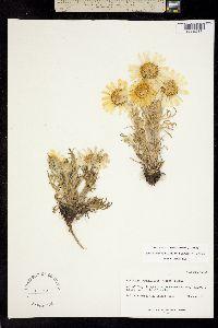 Image of Hymenoxys grandiflora