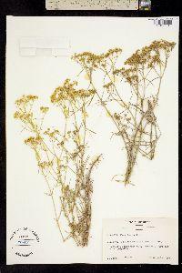 Sartwellia flaveriae image
