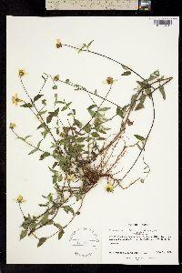 Sclerocarpus uniserialis image