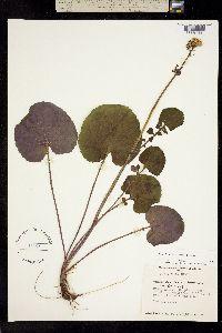 Senecio cyclophyllus image