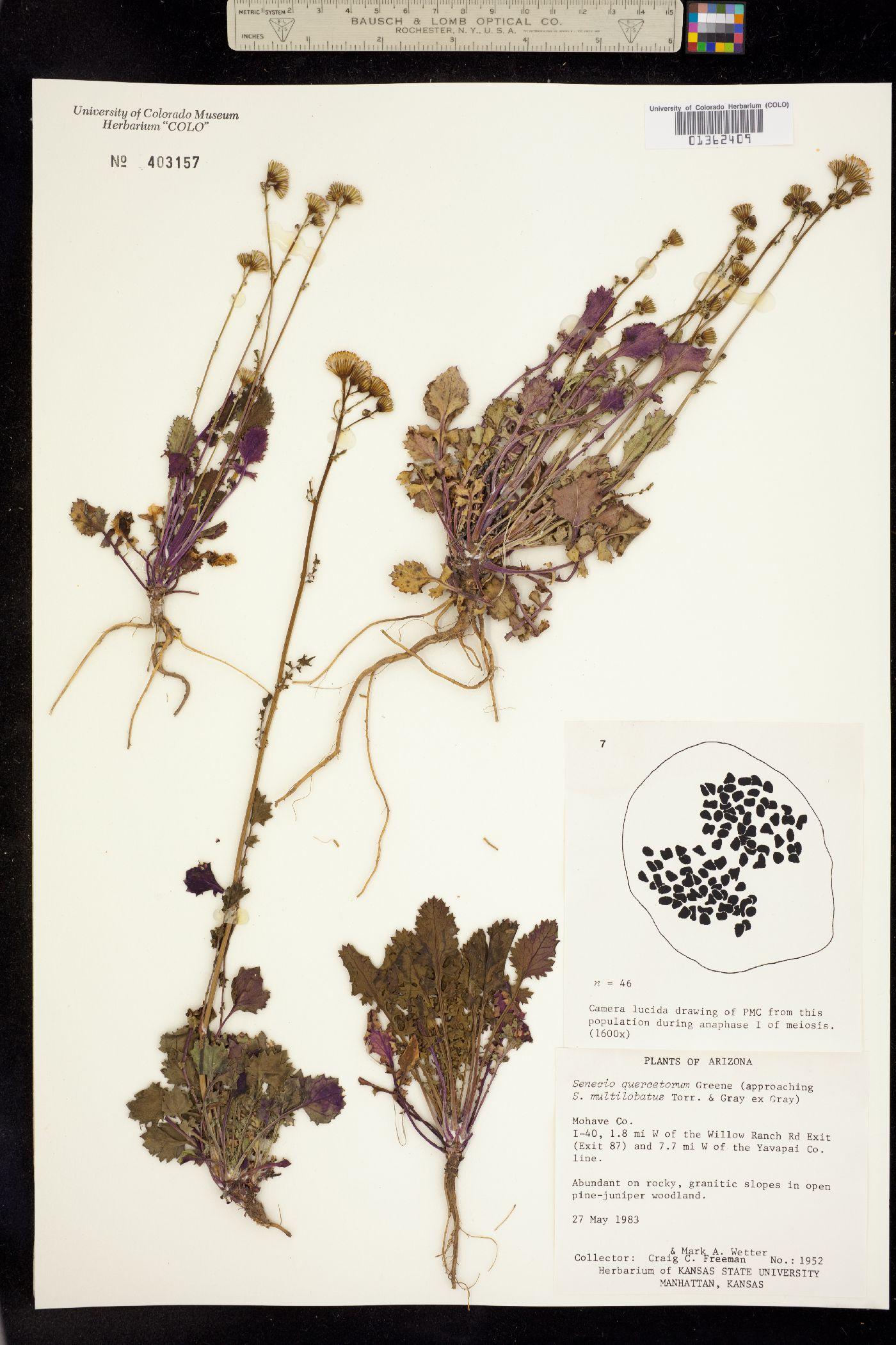 Packera quercetorum image