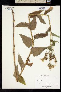 Senecio triangularis image