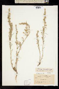 Image of Artemisia tripartita