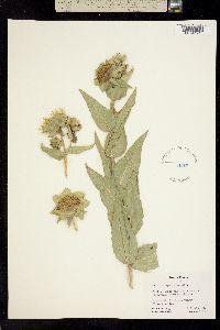 Silphium speciosum image