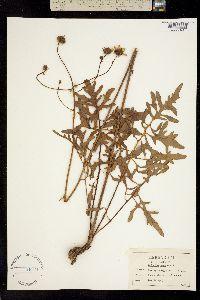 Image of Silphium orae