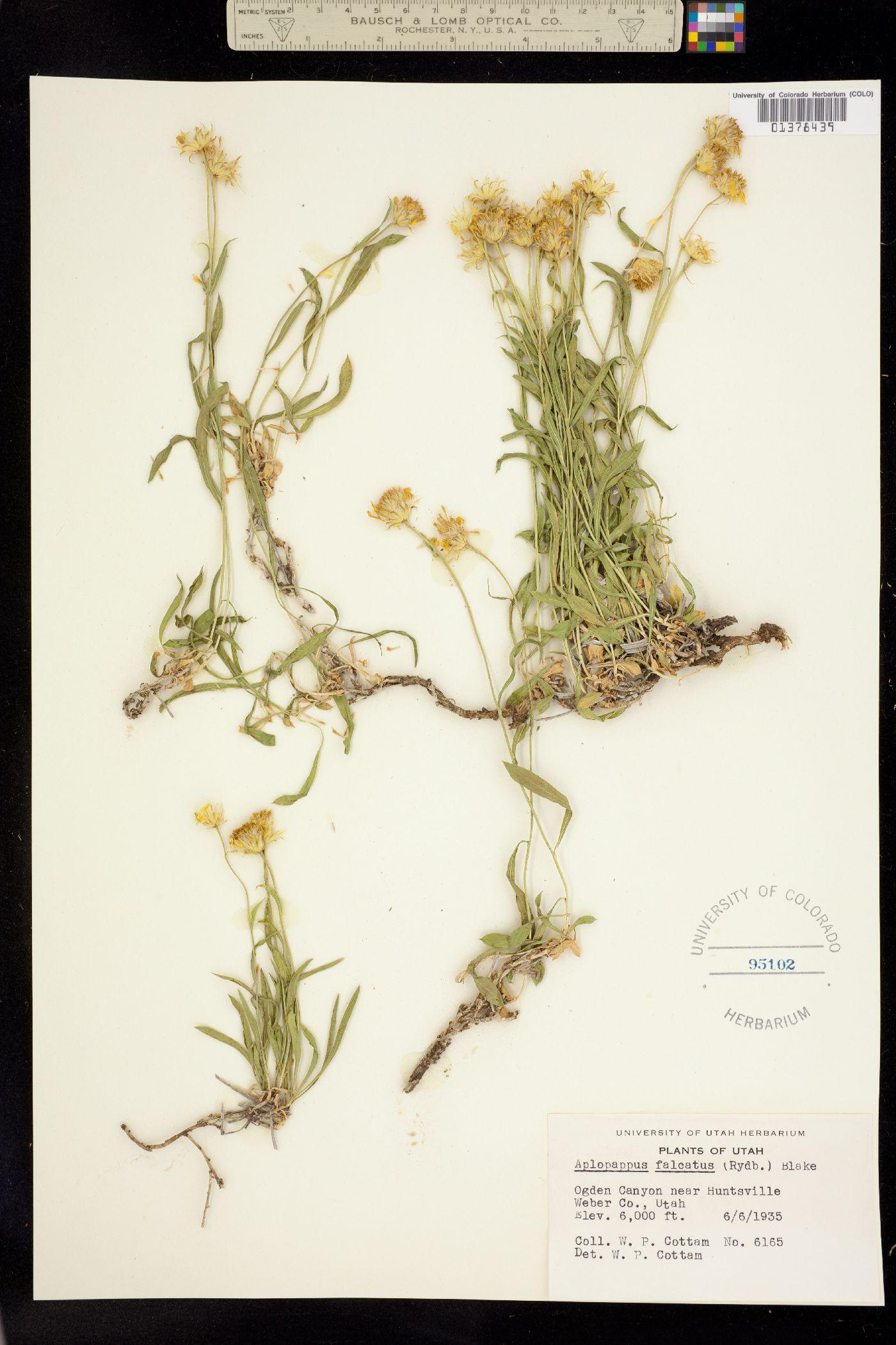 Stenotus falcatus image