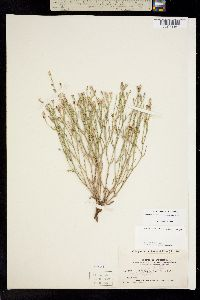 Stephanomeria runcinata image