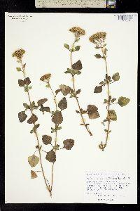 Stevia anadenotricha image
