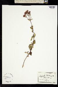 Image of Stevia clinopodia