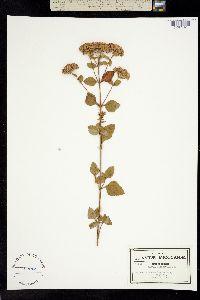 Stevia clinopodia image