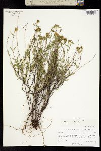 Stevia salicifolia image