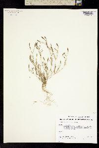 Tagetes filifolia image