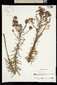 Stevia viscida image