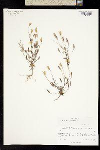 Tagetes subulata image