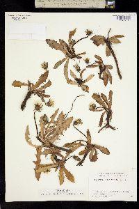 Taraxacum ceratophorum image