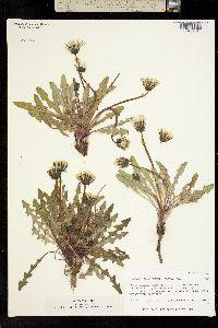 Taraxacum alaskanum image