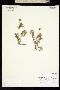 Tanacetum bipinnatum image