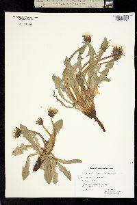 Taraxacum lapponicum image