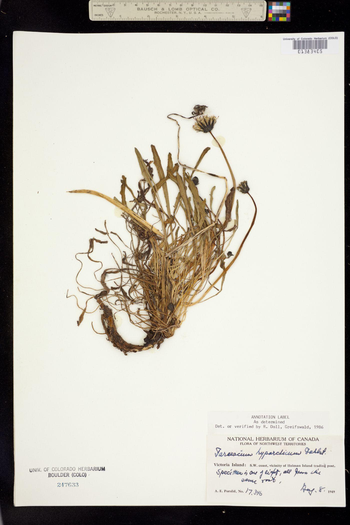 Taraxacum hyparcticum image
