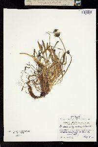 Image of Taraxacum hyparcticum