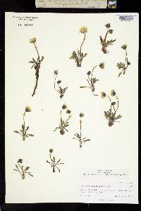 Image of Taraxacum phymatocarpum