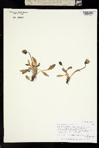 Taraxacum phymatocarpum image