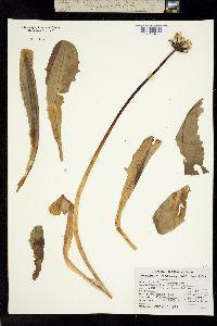 Image of Taraxacum trigonolobum