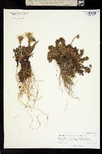 Image of Berylsimpsonia vanillosma