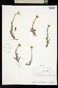 Berylsimpsonia vanillosma image