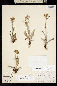 Tephroseris tundricola image