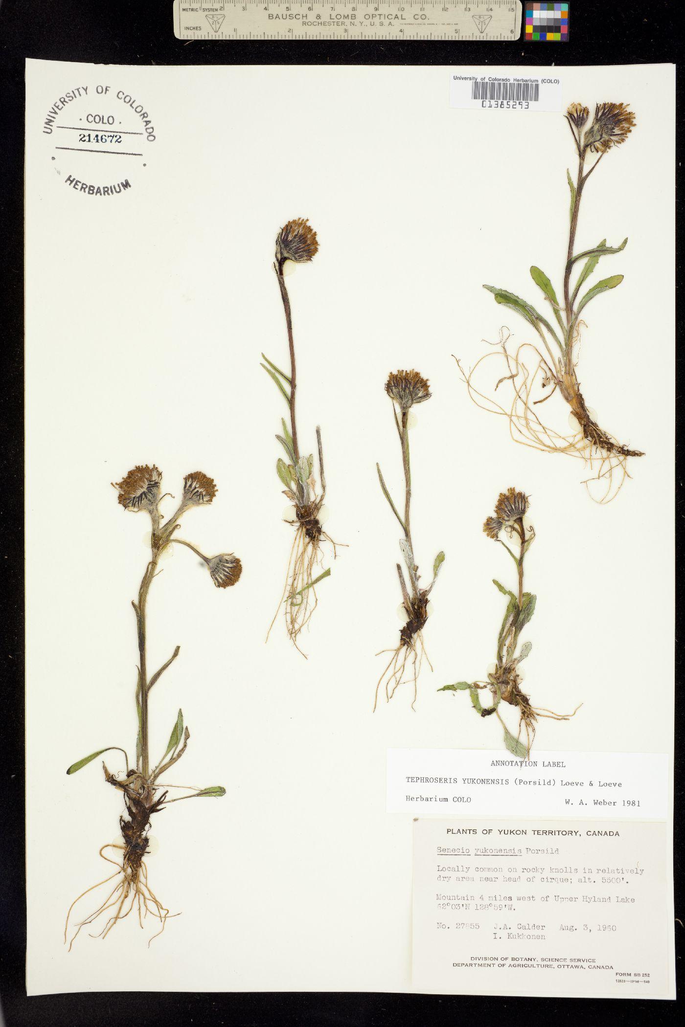 Tephroseris yukonensis image