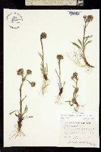 Image of Tephroseris yukonensis