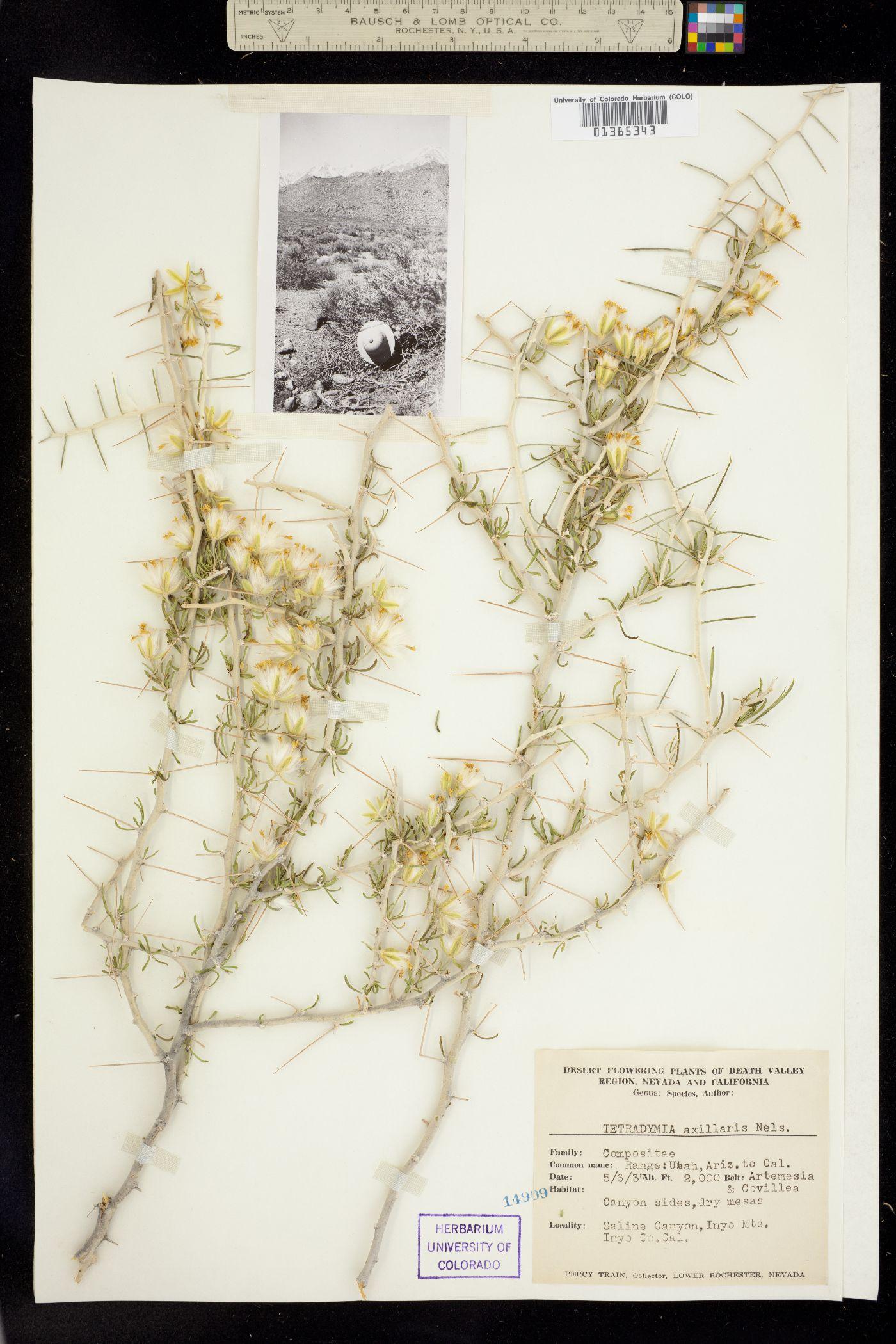 Tetradymia axillaris image