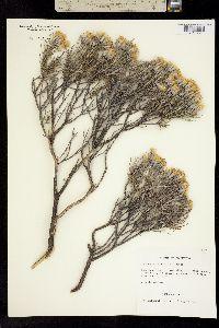 Image of Tetradymia filifolia