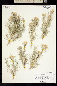 Tetradymia filifolia image
