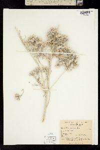Image of Tetradymia comosa