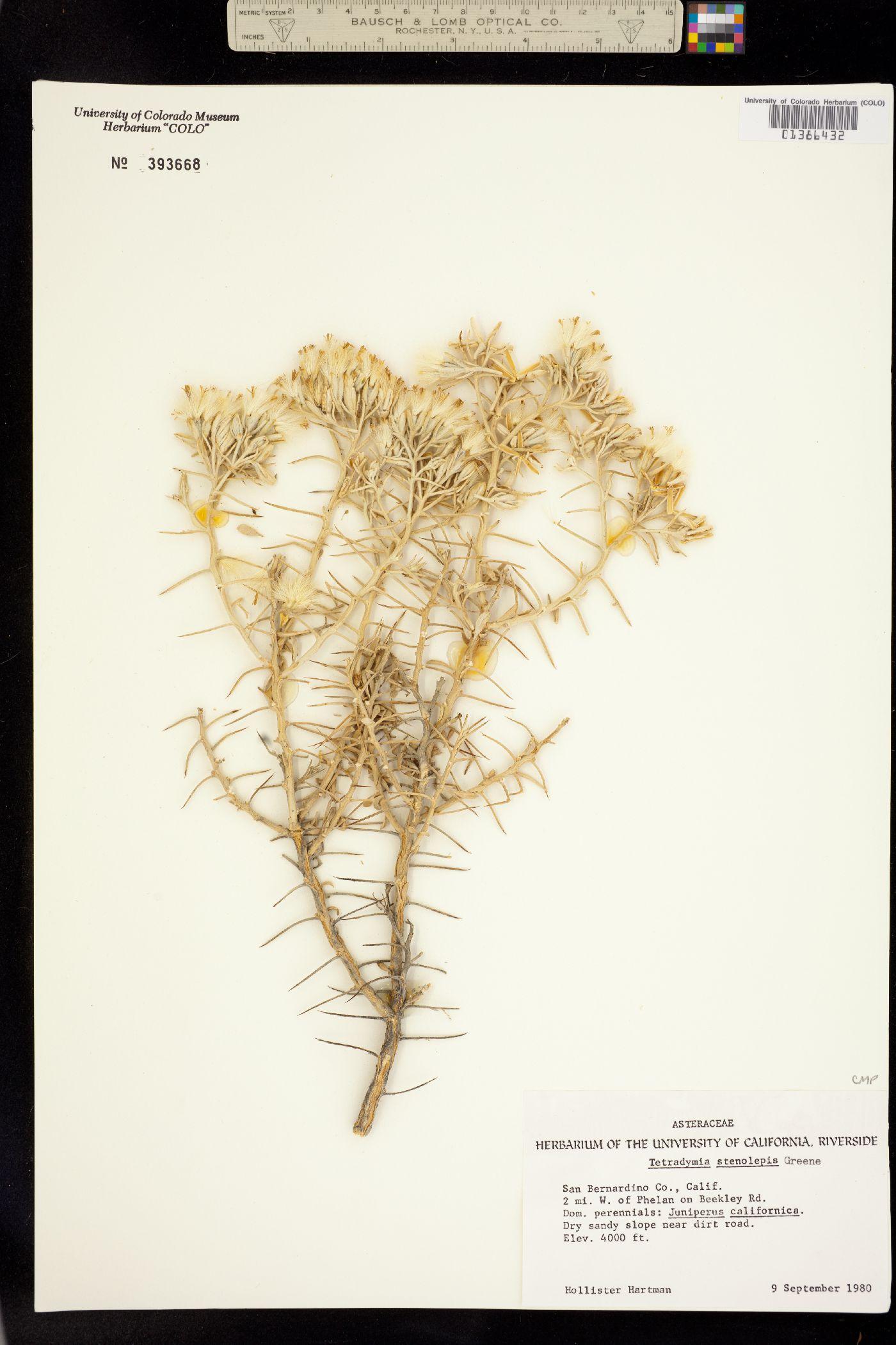 Tetradymia stenolepis image