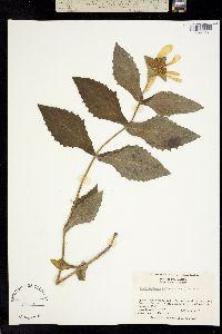 Image of Tetragonotheca helianthoides