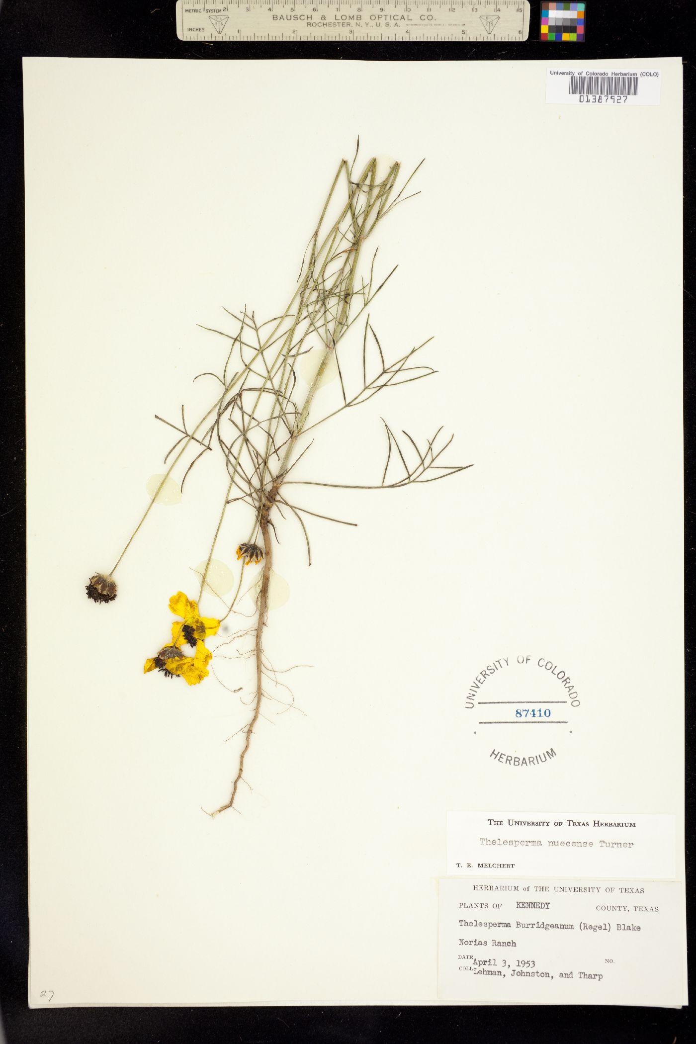 Thelesperma nuecense image