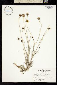 Thelesperma simplicifolium image