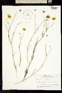 Image of Thelesperma simplicifolium