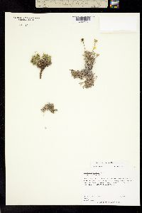 Image of Thelesperma windhamii