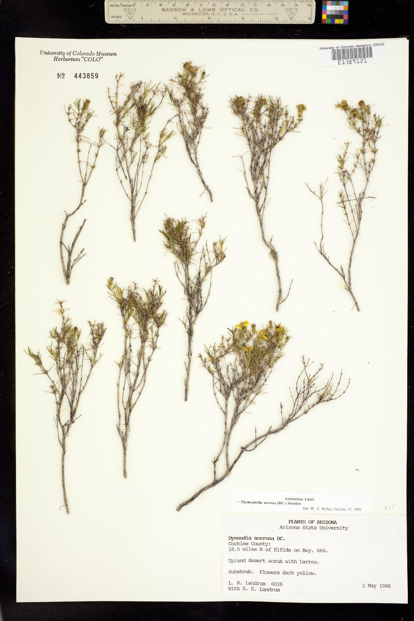 Thymophylla image