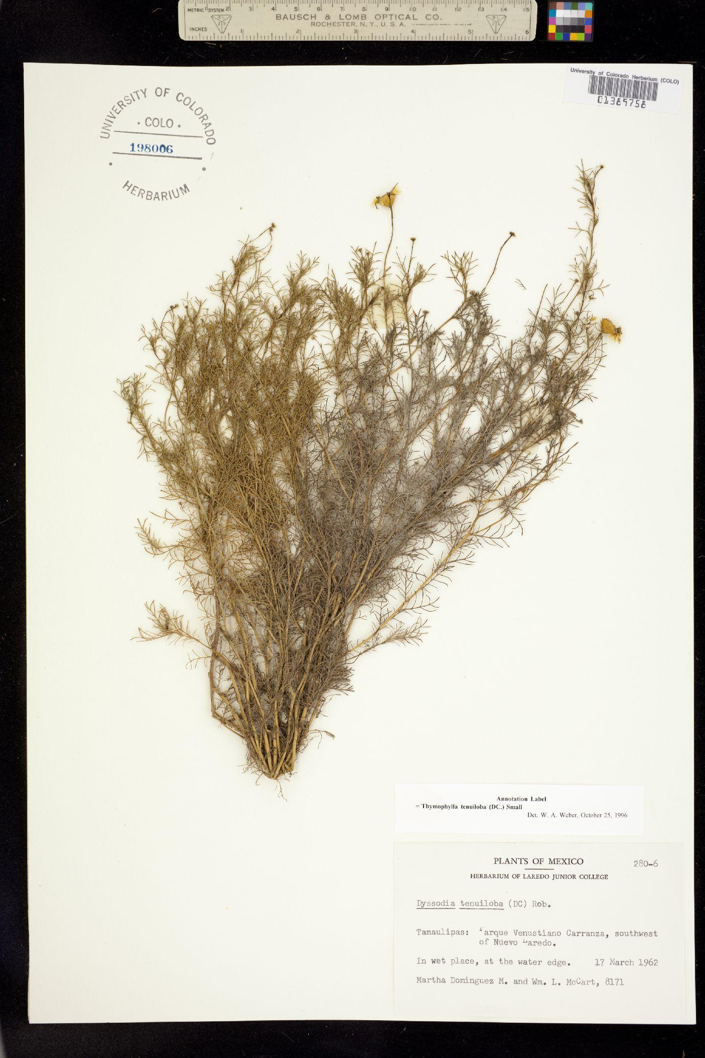 Thymophylla tenuiloba image