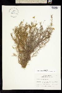Image of Thymophylla tenuiloba