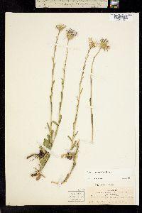 Townsendia formosa image